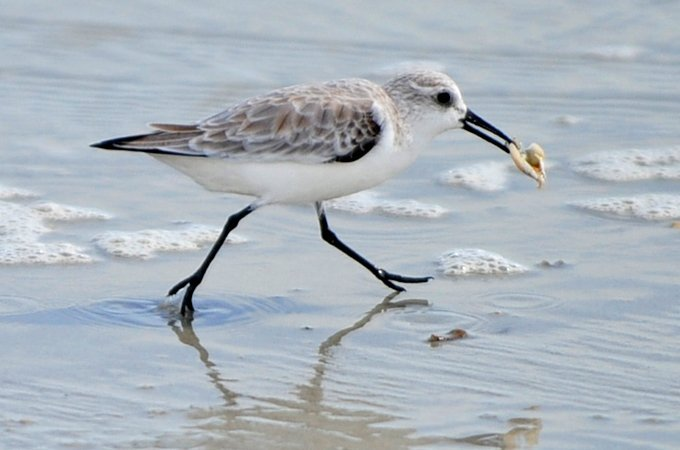 Does beach replenishment smother a shorebird's next meal?