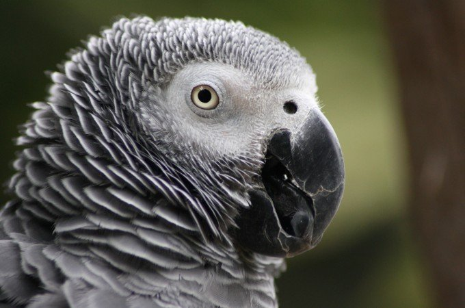 What happened to 10,000 African grey parrots in Singapore?
