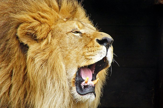 Why did the death of a single lion cause a sustained uproar?