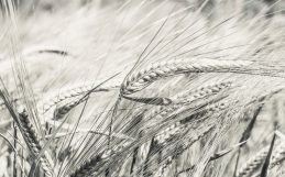 A non-GMO approach to producing bigger, better wheat