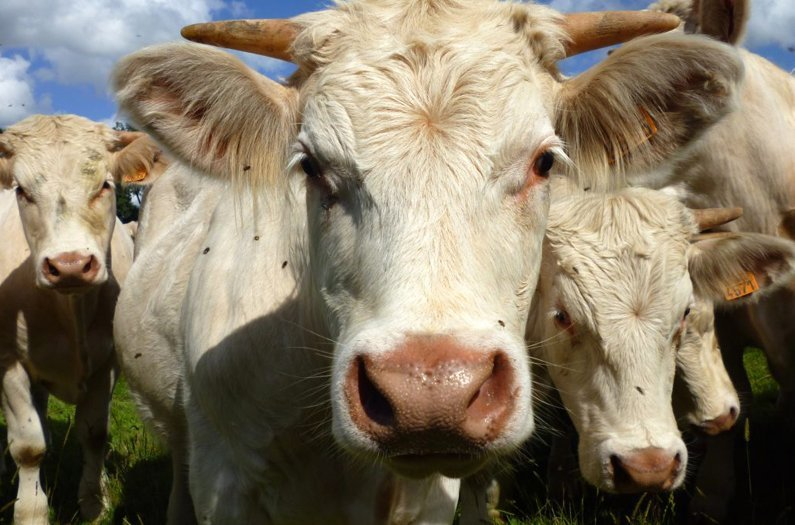 How cattle could help to slow malaria's spread