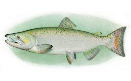 How to grow rice while saving endangered salmon