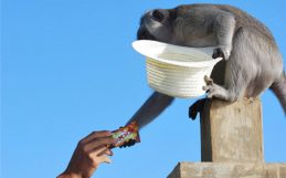 The temple where monkeys trade with humans