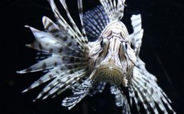 The trouble with lionfish control