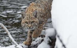 The lesson of the $300,000 bobcat