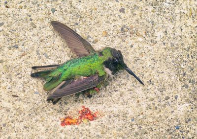 An unappreciated threat to birds: window collisions in rural areas