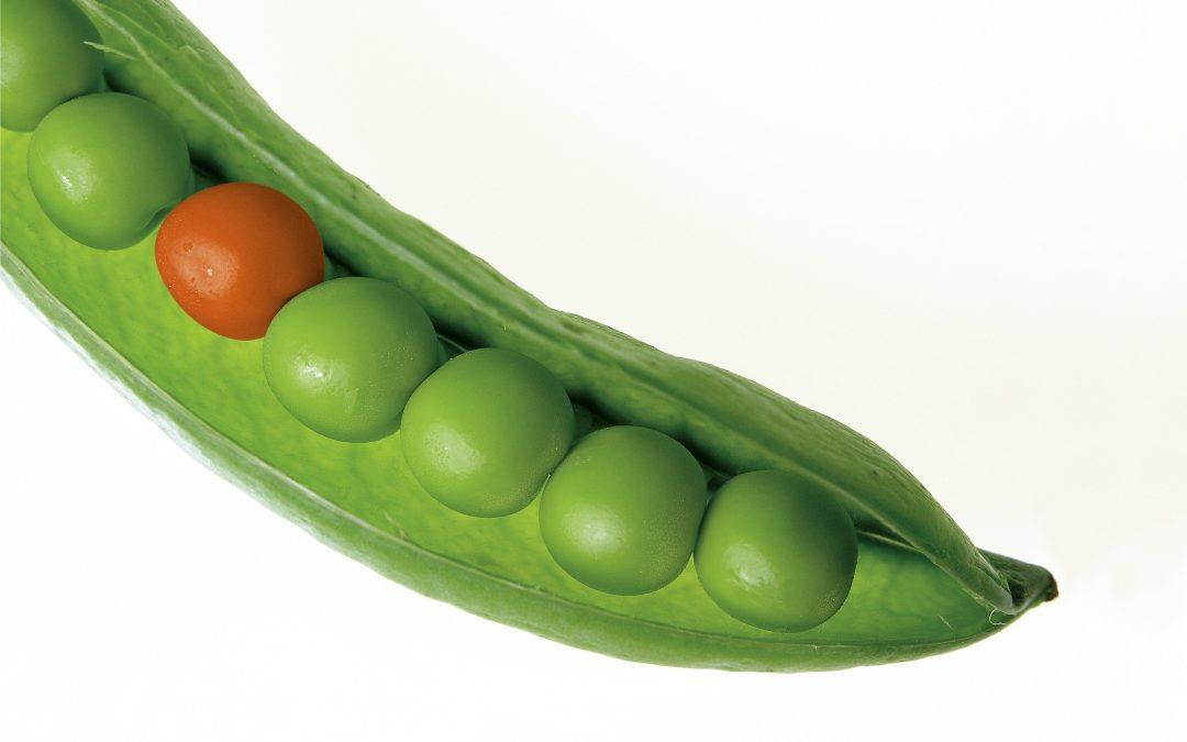 How to breed heat-loving peas