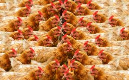 'Vegan' hens could make industrial egg production more sustainable