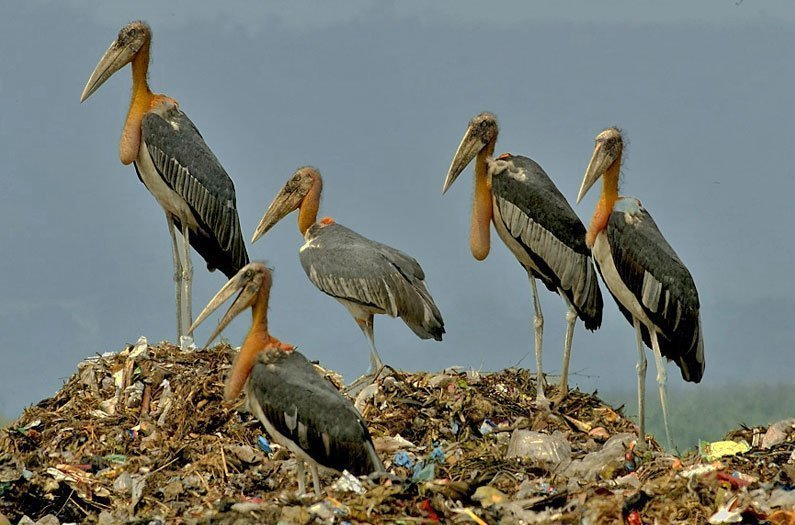 An overlooked ecosystem: garbage dumps