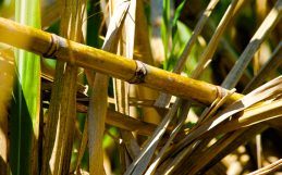 Can Brazilian sugarcane ethanol take on carbon emissions without destroying sensitive forests?