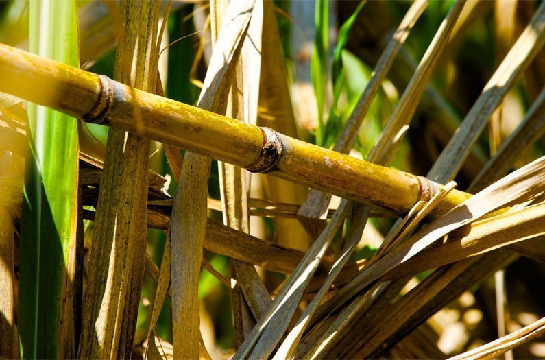 how to produce ethanol from sugarcane