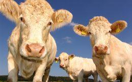 Pour comprendre l'impact réel de l'élevage, nous devons nous rapprocher des vaches