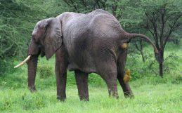 Le déclin des grands herbivores risque d'engendrer un Anthropocène moins verdoyant