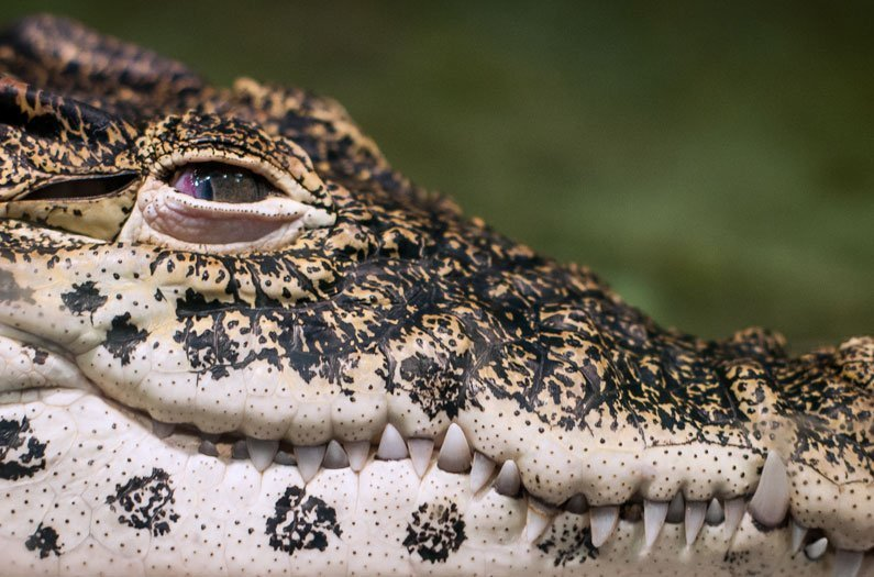 Rewilding Reptiles to Eco-Engineer the Anthropocene