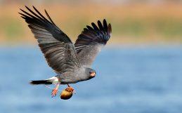 Com invasores no cardápio, um pássaro em extinção prospera