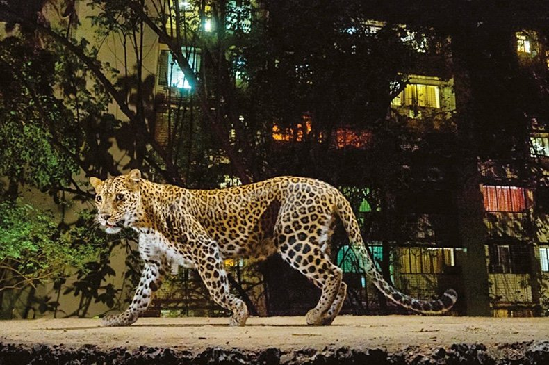 How leopards in Mumbai may save human lives