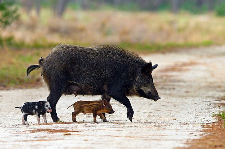 Guam's Forests Have an Unlikely Ally: Feral Pigs