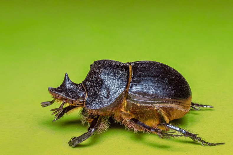 In Todays Dung Beetles Echoes Of A Lost World And Hints Of A New