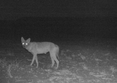 As people drive mammals into night, new problems appear