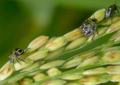 As it gets hotter and hotter, insects are coming for our crops