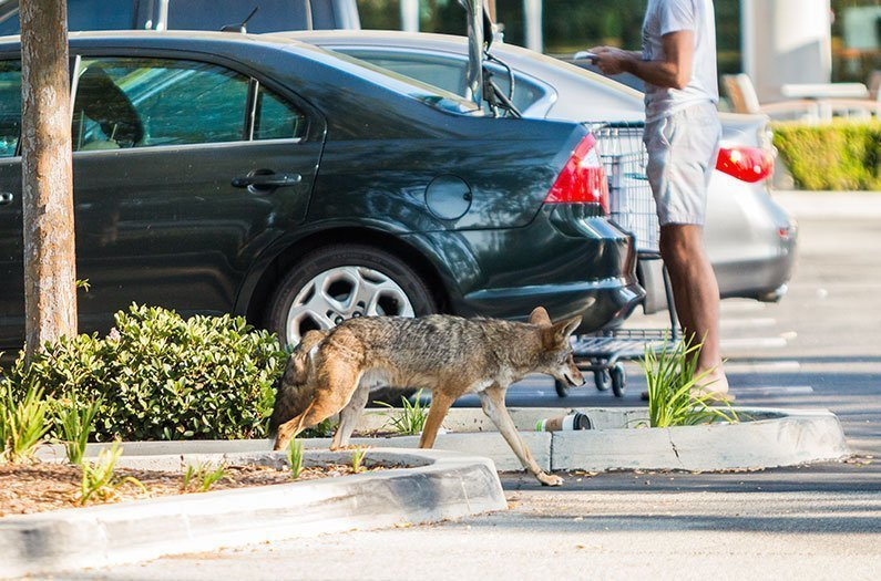 The suburbs may have more mammals than you think