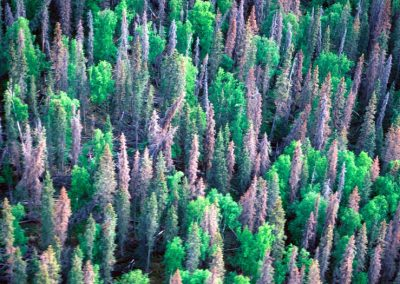 Western forests could adapt to pine beetles, but people won't let them