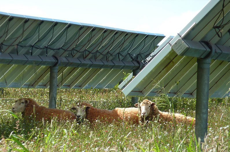 Neglected pastures thrive under solar panels
