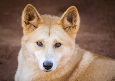 Dingoes could help solve Australia's extinction crisis — if only people would let them