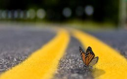 Roadkill is a problem for monarch butterflies. Can it be solved?