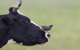 Organic livestock farms give wild birds a boost