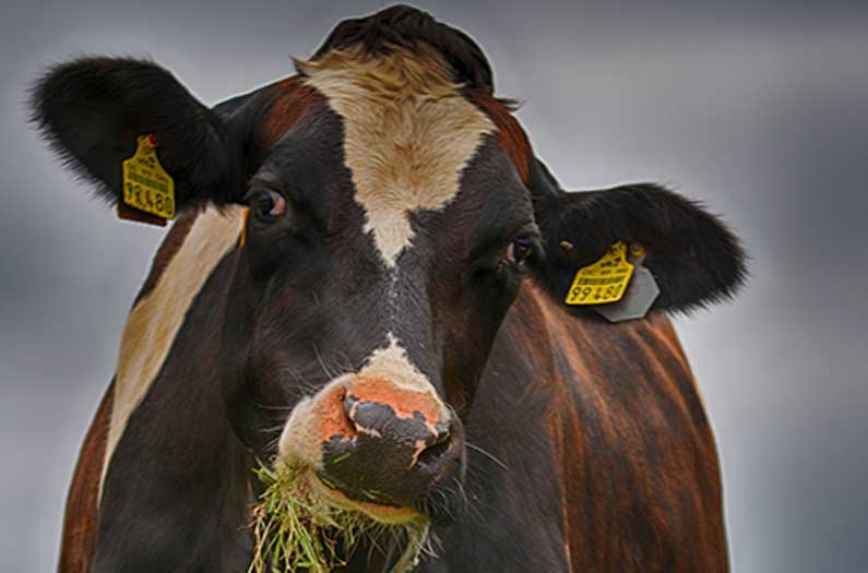 Feeding cows seaweed could reduce their methane emissions