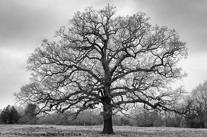 Preparing for life after peak oak