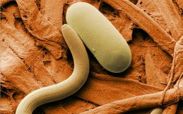 This parasitic worm might hold the key to sustainable pesticides