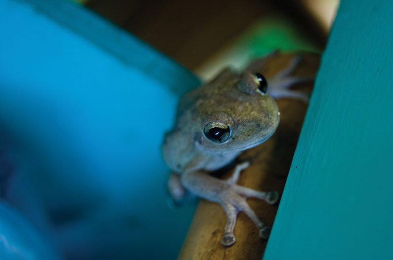 The Strange Case of the Puerto Rican Frog