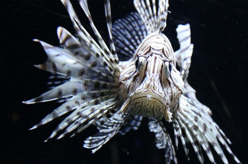 El problema con el control del pez león