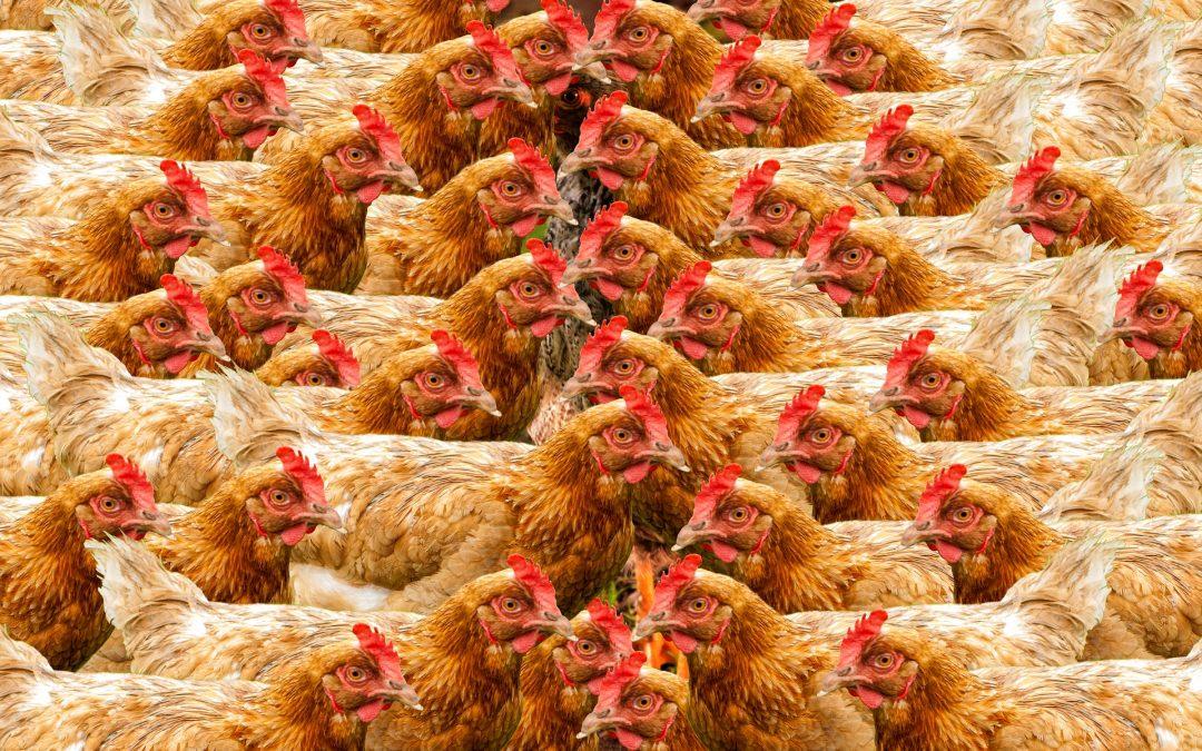 Les poules « végétaliennes » pourraient rendre la production industrielle des œufs plus durable