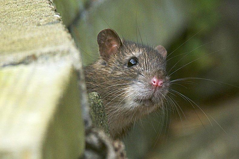 La sorprendentemente y sofisticada vida de las ratas.