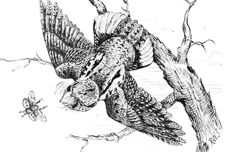 ¿Por qué las grandes aves que comen insectos están desapareciendo? Tal vez nos estamos quedando sin bichos.
