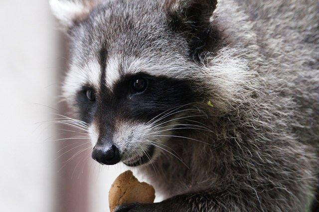 Comer comida humana afecta el tamaño de las especies silvestres, e incluso su evolución.