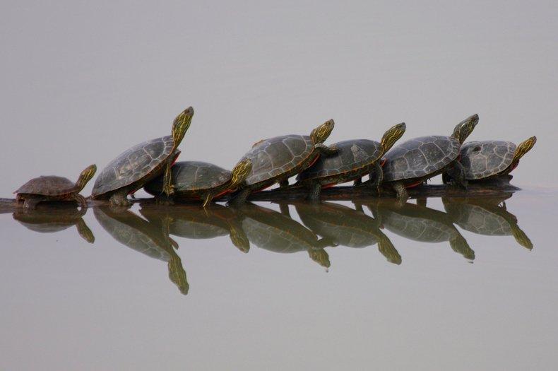 Las tortugas desaparecidas del Antropoceno.
