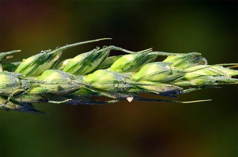 Los cultivos globales son cada vez más diversos, pero solo unos pocos dominan nuestro sistema alimenticio.