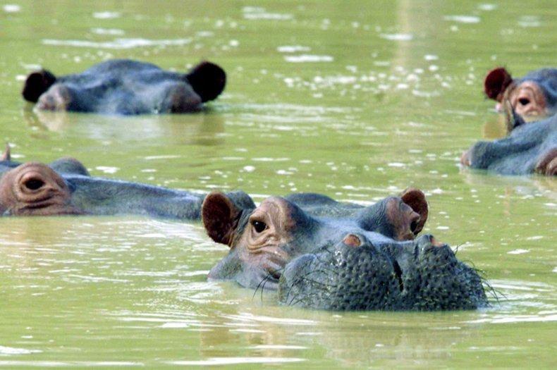 La población de hipopótamos de Colombia es un enigma ecológico fascinante