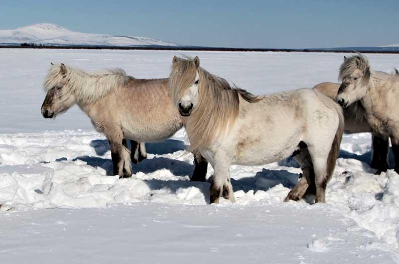 siberian-horses, Pleistocene Park