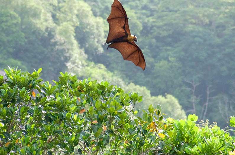 Con la ayuda de los murciélagos, los investigadores crearon un árbol genealógico de coronavirus