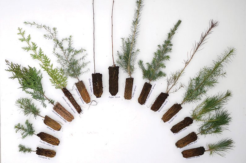 British Columbia Tree Seedlings