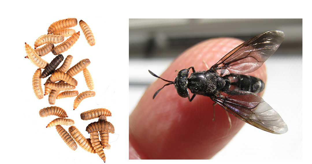 *Actually, it's the fly larvae, not the adult flies, that constitute the protein source.