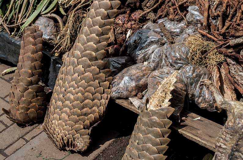 Pangolin market in South Africa