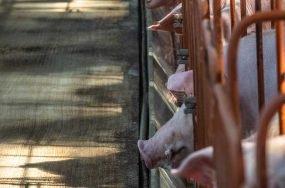factory pig farm
