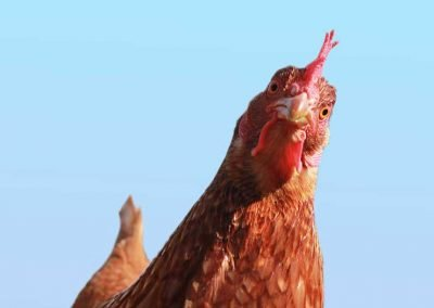 Chickens on a greener diet still taste like . . . chicken