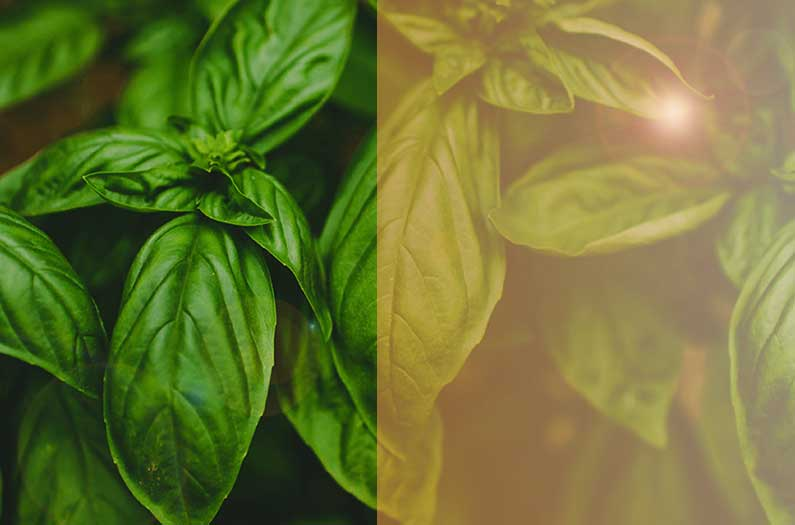 Tinted solar panels produce better basil—and more electricity
